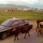 fast wie in Indien... das Taxi da ist der Gegenverkehr, die Kühe machen was sie wollen